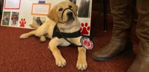 A yellow lab sits as a service animal.